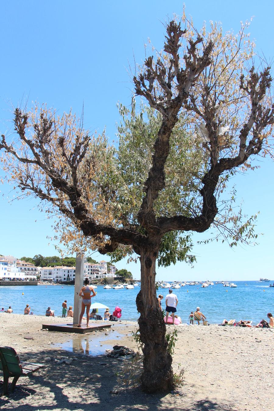 Olivos en el paseo marítimo de Cadaqués